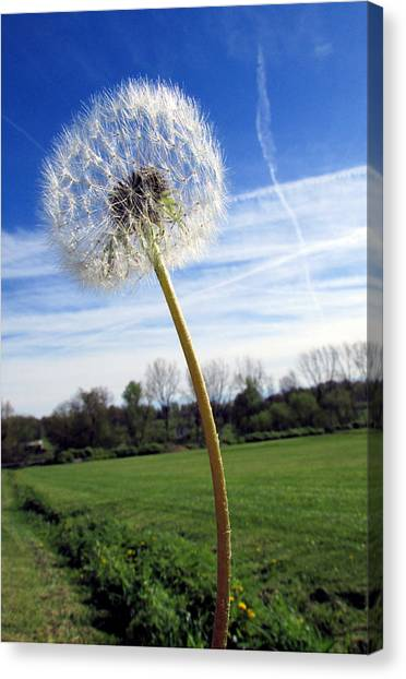 Wishes Or Weeds Canvas Print by Andrea Dale