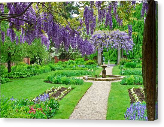 Wisteria Bloom Canvas Print
