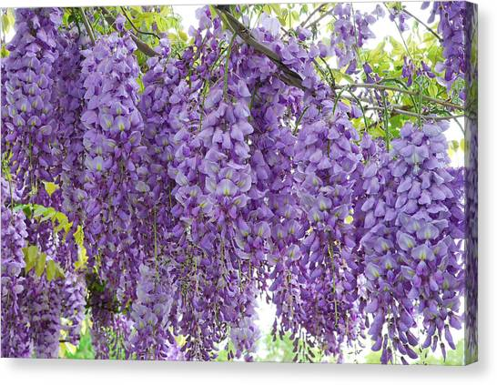 Wisteria Full Bloom Canvas Print