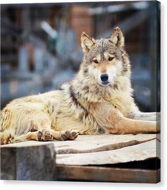 Minnesota Wild Canvas Print - Wolf by Betsy B