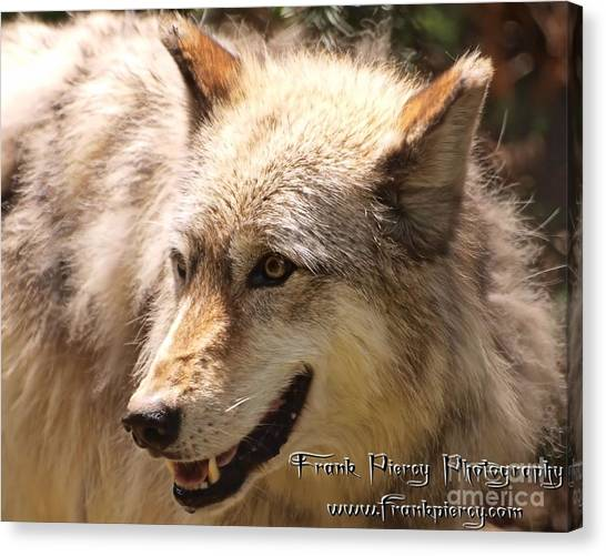 Wolf Close Up Canvas Print by Frank Piercy