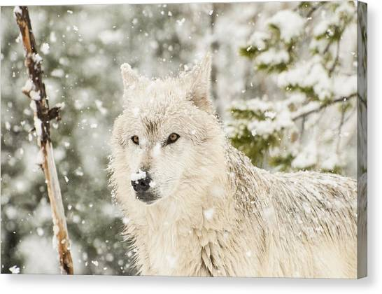 Wolf In Snow Canvas Print