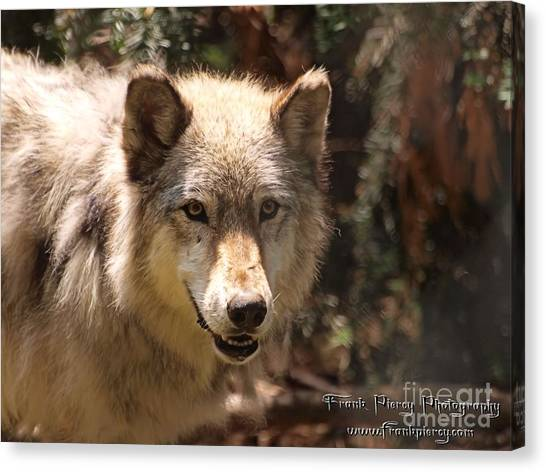 Wolf Intently Canvas Print by Frank Piercy