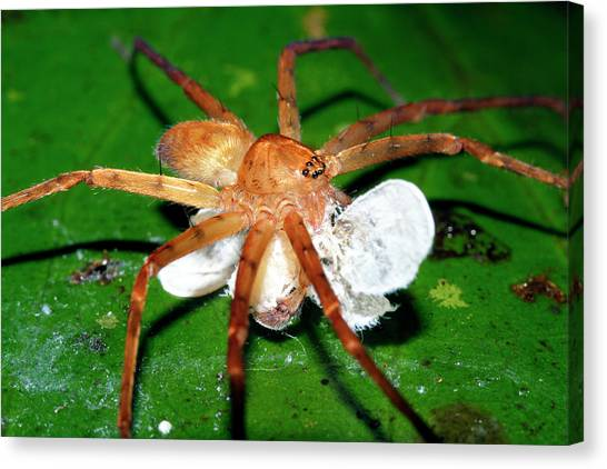 Amazon Rainforest Canvas Print - Wolf Spider by Dr Morley Read/science Photo Library