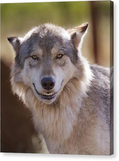Wolf's Smile  Canvas Print