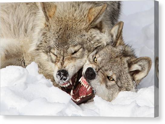 Crock Canvas Print - Wolves Rules by Mircea Costina Photography