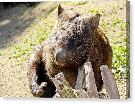 Canvas Print featuring the photograph Wombat Scratching by Debbie Cundy