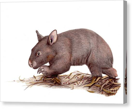 Wombat Walk Canvas Print by Susan Pope