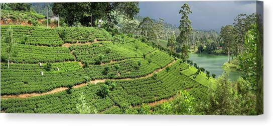 Tea Leaves Canvas Print - Women Picking Tea Leaves On Hillside by Panoramic Images