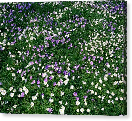 Andy Bloom Canvas Print - Wood Anemones by Andy Williams/science Photo Library