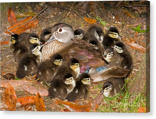 Baby Duck Canvas Prints (Page #8 of 47) | Fine Art America