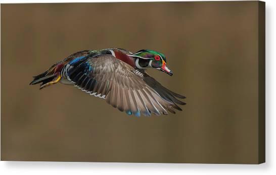 Ducks Canvas Print - Wood Duck-male In-flight by Salman A