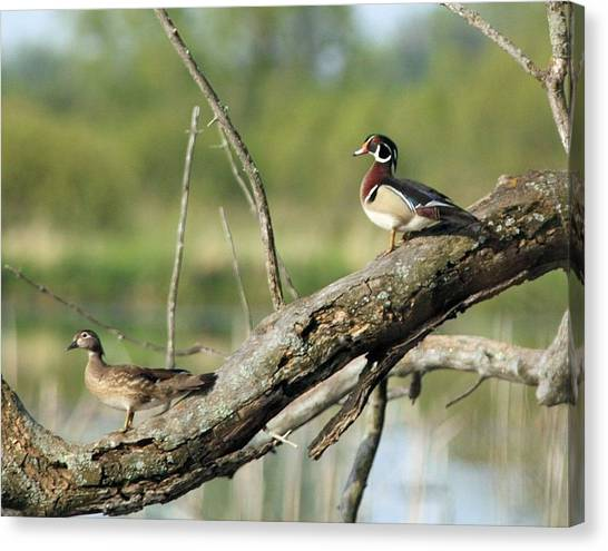 Wood Duck Pair In Tree Canvas Print