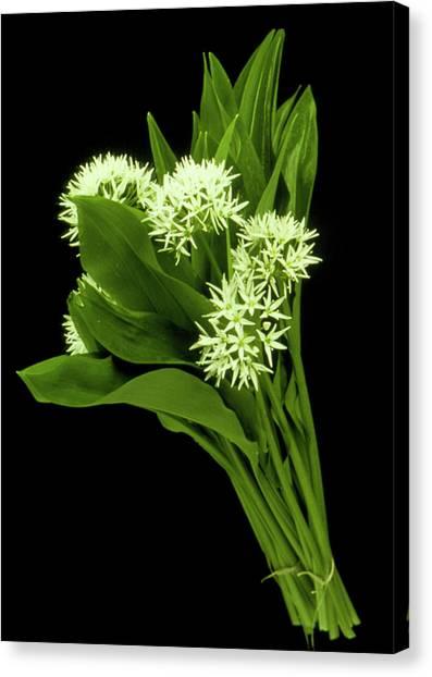 Wood Garlic Plants Canvas Print by Th Foto-werbung/science Photo Library