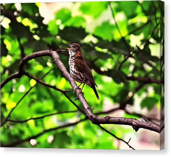 Wood Thrush Singing Canvas Print