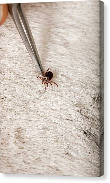 Ticks Canvas Print - Wood Tick On A Horse by Peggy Greb/us Department Of Agriculture