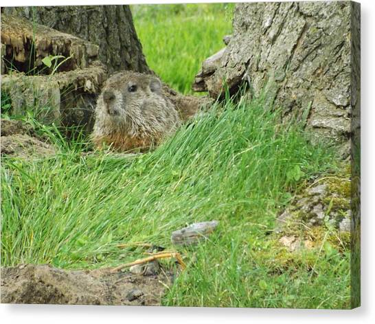 Woodchuck 2 Canvas Print