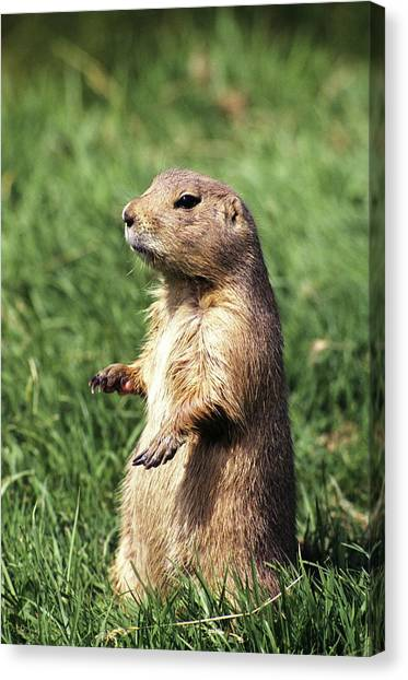 Groundhogs Canvas Print - Woodchuck by Tony Craddock/science Photo Library