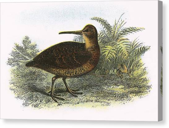Woodcock Canvas Print - Woodcock by English School