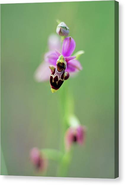 Woodcock Canvas Print - Woodcock Orchid (ophrys Scolopax) by Rachel Warne/science Photo Library