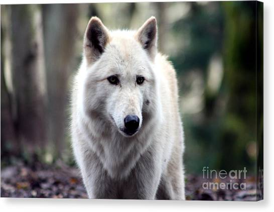 Arctic Wolf Canvas Print - Woodland White Wolf by Nick Gustafson