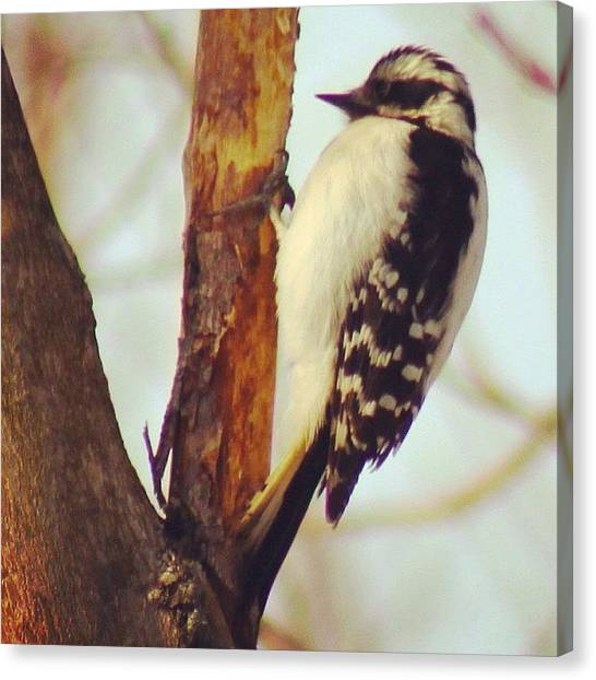 Woodpeckers Canvas Print - Woodpecker #bird #feathers #tree by Lisa Thomas