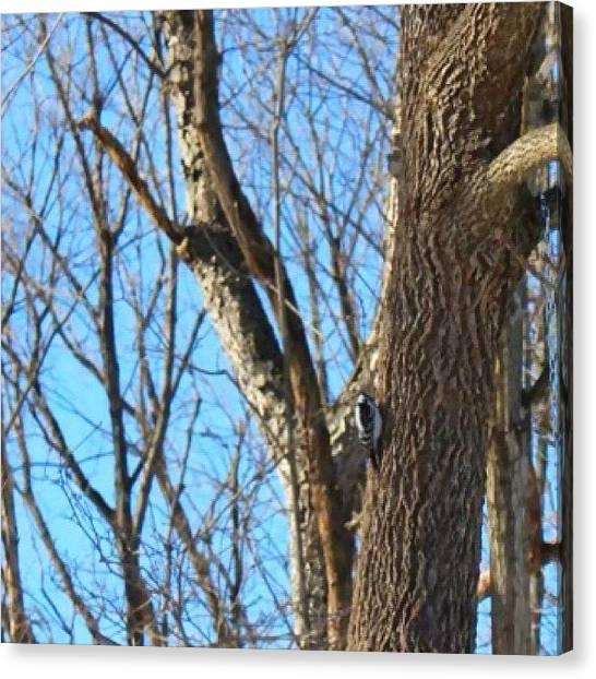 Woodpeckers Canvas Print - #woodpecker #bluesky #winter #winterdays by Meg Pace