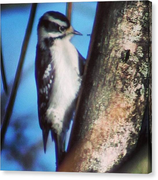 Woodpeckers Canvas Print - Woodpecker In January #woodpecker #bird by Lisa Thomas