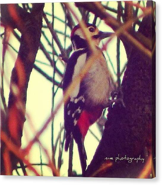Woodpeckers Canvas Print - #woodpecker#woody#pic#of#the#day# by Aaron Eckersley