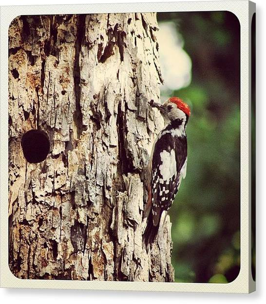 Woodpeckers Canvas Print - #woody #woodpecker #tree #wood #bird by Ionel Barbalau