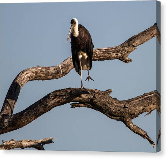 Woolly Necked Stork Canvas Print by Craig Brown