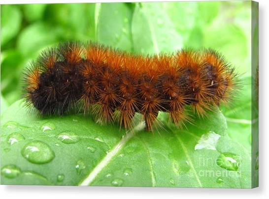 Wooly Bear  Canvas Print