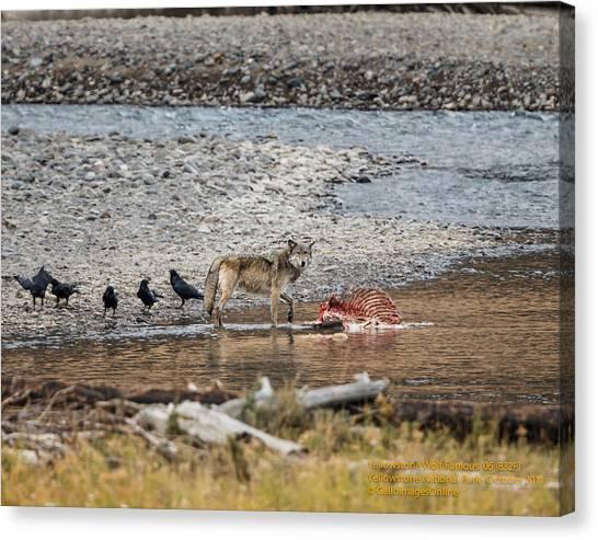 World Famous Yellowstone Gray Wolf 06' Canvas Print