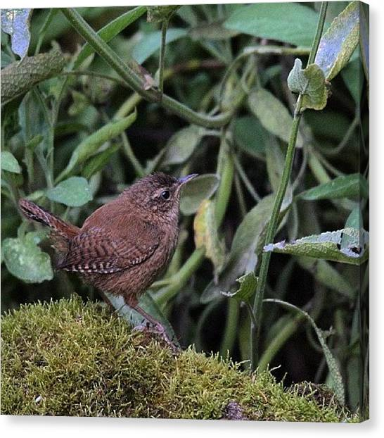 Wrens Canvas Print - #wren #troglodytestroglodytes by Miss Wilkinson
