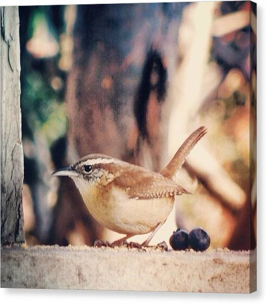 Wrens Canvas Print - Wren. ____________________ #nikond80 by Jayna Wallace