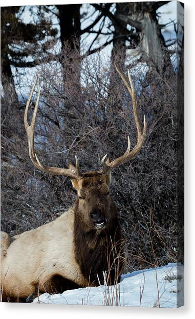 Wyoming Elk Canvas Print