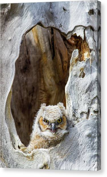 Cavity Canvas Print - Wyoming, Lincoln County, Great Horned by Elizabeth Boehm