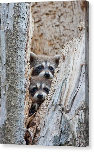 Carnivore Canvas Print - Wyoming, Lincoln County, Raccoon Young by Elizabeth Boehm