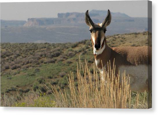 Wyoming Pronghorn Canvas Print