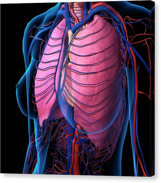 x-ray view of female chest, heart canvas print by hank grebe