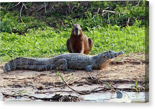 Crocodiles Canvas Print - Yacare Caiman And Capybara by John Devries/science Photo Library