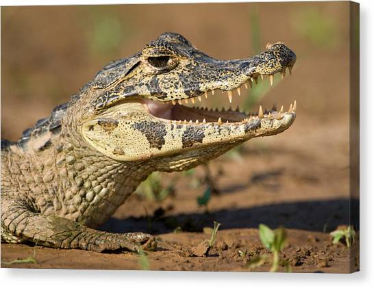 The Pantanal Canvas Print - Yacare Caiman Caiman Crocodilus Yacare by Panoramic Images