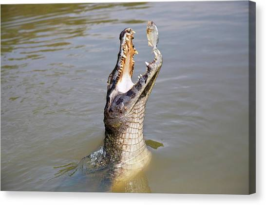 Crocodiles Canvas Print - Yacare Caiman Catching A Fish by John Devries/science Photo Library