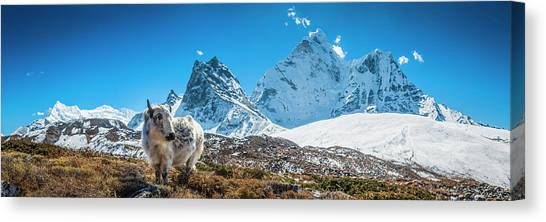 Yak Calf Grazing In High Altitude Canvas Print by Fotovoyager