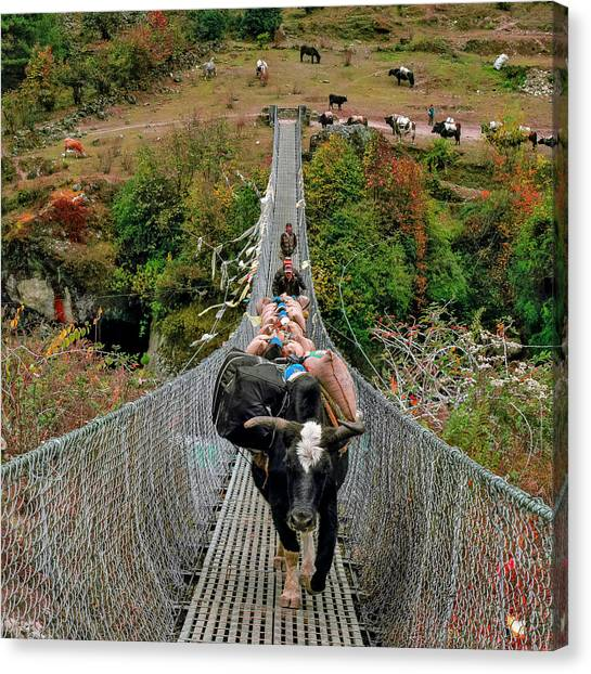 Yaks Canvas Print - Yaks On Rope Bridge by Babak Tafreshi