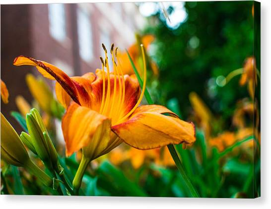 Oklahoma State University Canvas Print - Yellow And Orange Flower by Nathan Hillis