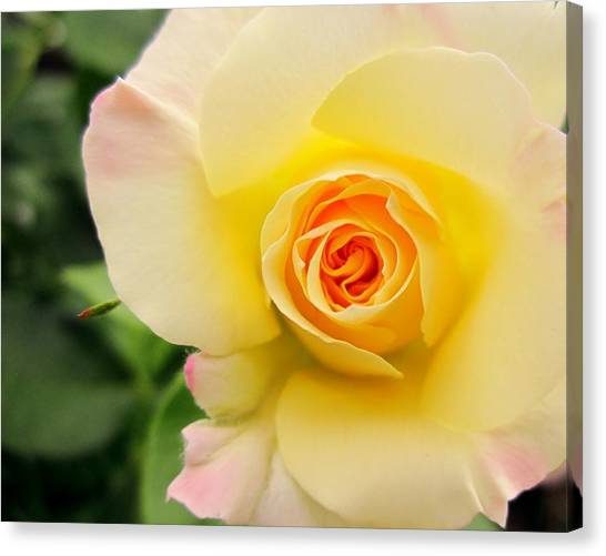 Yellow And Pink Beauty  Canvas Print