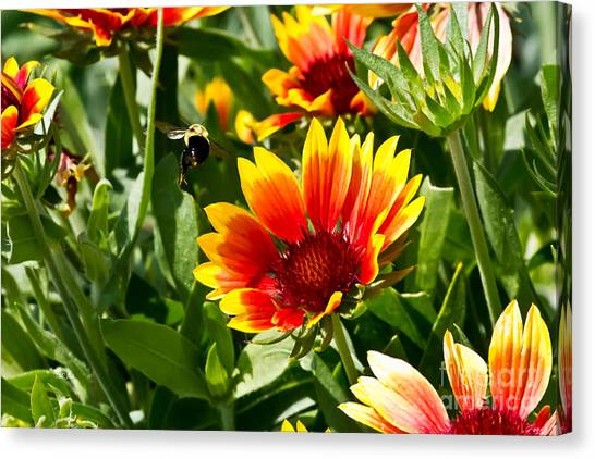 Yellow And Red Gaillardias And Bee Canvas Print