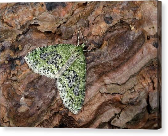 Brindle Canvas Print - Yellow-barred Brindle Moth by Nigel Downer