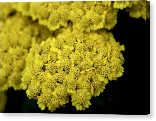 Yellow Beauties Canvas Print by John Holloway